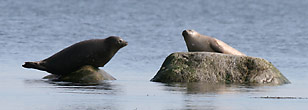 Image: Harbour Seals